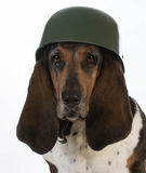 Canine soldier. Basset hound wearing military helmet on white background Stock Image