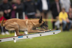 Canine sport. Belgian Shepherd standing on agility swing and trying to find a balance. He is in very good position and with paws on zone Royalty Free Stock Image