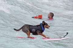 Canine Surf Style Stock Photos
