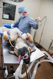 Canine Surgery Stock Image