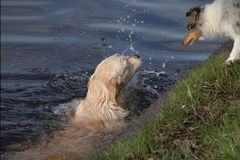 Canine swimming instructor Royalty Free Stock Images