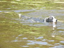 Canine Swimming in the Water Royalty Free Stock Photo