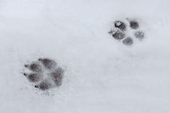 Canine tracks Stock Images