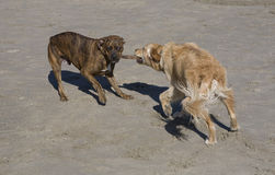 Canine tug-of-war stock photo