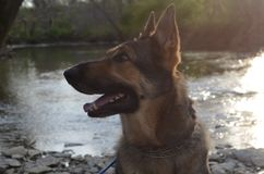 Canines are beautiful. Hiro the German Shepard. A playful, healthy dog with bright brown eyes stock photos