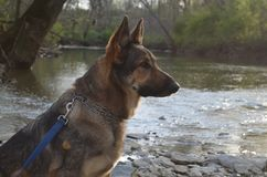 Canines are beautiful. Hiro the German Shepard. A playful, healthy dog with bright brown eyes stock image
