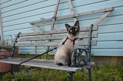 Canines are beautiful. Kira the Siamese cat. a fancy feline who prefers her healthy wet food and heated bed. She is truly spoiled royalty free stock photo