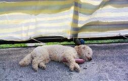 Canino Fotografia Stock Libera da Diritti