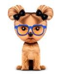 Canino adorabile con gli occhiali da sole, isolati su bianco Fotografia Stock