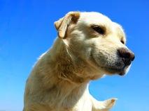 Canino bianco Immagine Stock