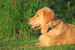 Canino con i denti bianchi sani Immagini Stock