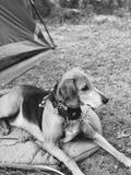 Canino em preto e branco fotos de stock