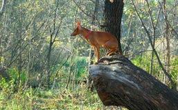 Canino na árvore Caminhada no parque Imagens de Stock