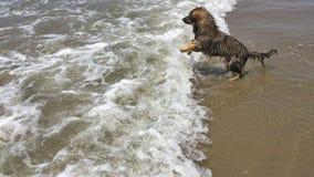 Canino na praia Fotografia de Stock Royalty Free