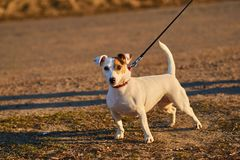 Canino pouco branco foto de stock royalty free