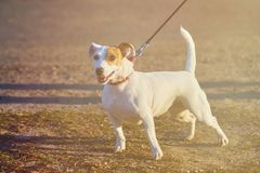 Canino pouco branco fotografia de stock royalty free