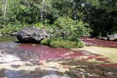 Canio Cristales mountain river. Colombia. LA MACARENA, COLOMBIA - NOVEMBER 6, 2012: Mountain river Caño Cristales. One of the most beautiful rivers in the royalty free stock image