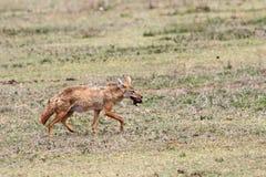 Canis χρυσό Στοκ εικόνα με δικαίωμα ελεύθερης χρήσης