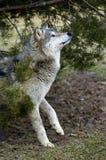 canis нерезкости смотрит тимберс движения волчанки вверх по волку Стоковая Фотография