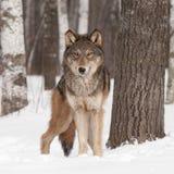 Ο γκρίζος λύκος (Λύκος Canis) κοιτάζει προς τα εμπρός Στοκ Εικόνες