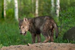 Μαύρο κουτάβι λύκων (Λύκος Canis) με τη βρώμικη μύτη Στοκ φωτογραφίες με δικαίωμα ελεύθερης χρήσης