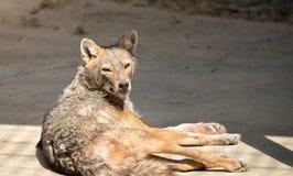 Canis d'or de chacal doré au zoo photo libre de droits