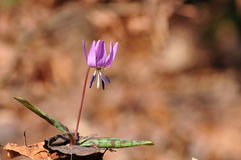 Canis de las guaridas del Erythronium, violeta del punzón de acero, Fotos de archivo libres de regalías