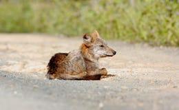 Canis dorato dello sciacallo aureo Immagini Stock