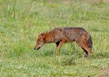 Canis dorato dello sciacallo aureo Fotografia Stock Libera da Diritti