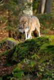 Canis Lupus Foto de archivo libre de regalías