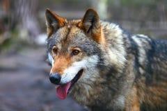 Canis Lupus stock photo