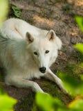 Canis lupus arctos Fotografia Stock