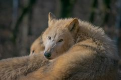 Canis lupus arctos royalty free stock photo