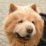 Canis lupus familiaris - Chow Chow or Puffy Lion dog. Portrait royalty free stock image