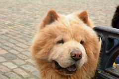 Canis lupus familiaris - Chow Chow or Puffy Lion dog. Portrait stock photography