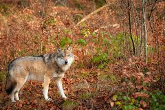 Canis Lupus II Royalty Free Stock Photos