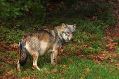 Canis Lupus Lupo in natura di autunno Immagini Stock Libere da Diritti