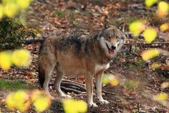Canis Lupus Lupo in natura di autunno Fotografie Stock