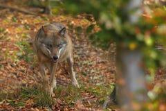 Canis Lupus Lupo in natura di autunno Immagine Stock