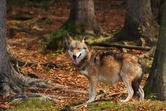 Canis Lupus Lupo in natura di autunno Fotografia Stock Libera da Diritti