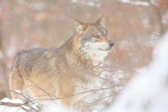 Canis Lupus Lupo in natura di inverno Immagini Stock Libere da Diritti