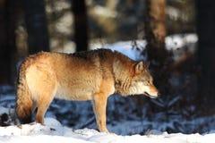 Canis Lupus Lupo in natura di inverno Fotografie Stock Libere da Diritti