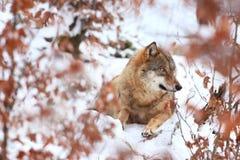Canis Lupus Lupo in natura di inverno Fotografia Stock Libera da Diritti