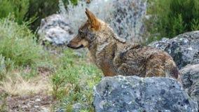 Canis Lupus Signatus profile watching over rocks stock image