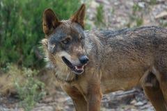Canis Lupus Signatus watching Royalty Free Stock Image