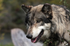 canis lupus wilk Obrazy Royalty Free