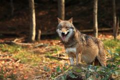 Canis lupus. Wolf in autumn nature. royalty free stock image