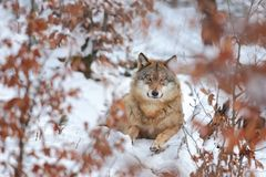 Canis lupus. Wolf in winter nature. Beautiful nature photos. royalty free stock photos