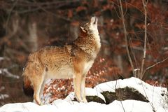 Canis lupus. Wolf in winter nature. stock images