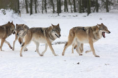 Canis lupus wolfes Royalty Free Stock Images